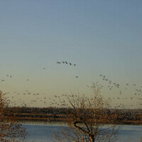 Snow Geese heading South